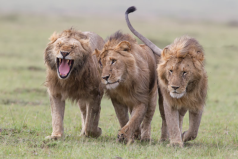 Kenyan People And Culture 39.-Three-male-Lions-w...